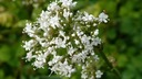 valeriana-officinalis.resized